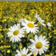 Daisy and blue sky — Stock Photo
