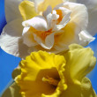 Yellow narcissus — Stock Photo
