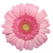 Gerbera isolated on white — Stock Photo