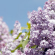 Close-up of lilac flower — 图库照片