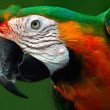 Macaw — Stock Photo #4230781