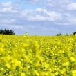 Stock Photo: Oilseed