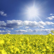Oilseed and clouds — Stock Photo