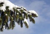 çam ağacı dalı kar altında closeup — Stok fotoğraf