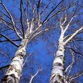 Birch — Stock Photo