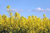 Close-up of rape flowers field — Stock Photo