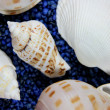 Conch — Stock Photo #4158282