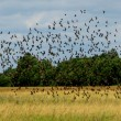 Flock of birds — Stock Photo