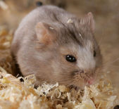 Campbell Dwarf Hamster — Stock Photo