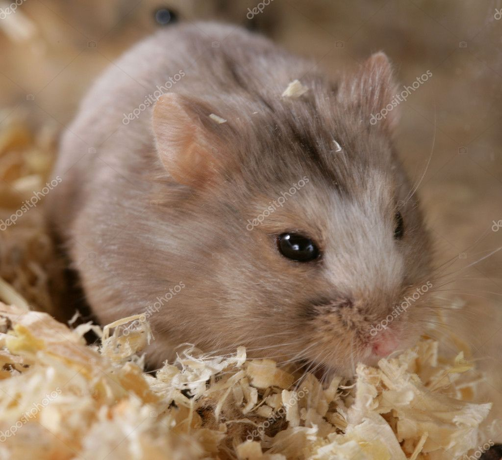 Campbell Dwarf Hamster. — Stock Photo #4177127