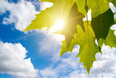 Green leafe of maple in sunny day. — Stock Photo