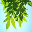 Green leafe in sunny day. — Stock Photo