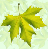 Gold one maple leaf isolated — Foto Stock