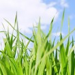 Green grass field under midday sun in blue sky. — Stock Photo