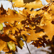 Autumn golden oak leaves — Stock Photo