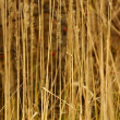 Wild reed grass - Stock Photo