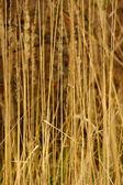 Wild reed grass — Stock Photo