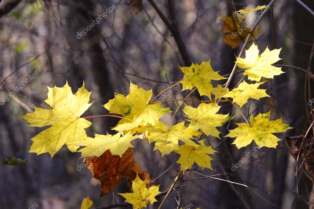 Golden maple leaves in dense woodland — Stock Photo #4161988
