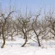 Apple orchard covered in snow — Stock Photo