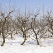Apple orchard covered in snow - Stock Photo