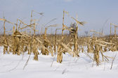 Maze and corn crop in field winter — Stock Photo