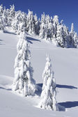 Snow covered pine trees on mountain side — ストック写真