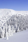 Snow covered pine trees the mountain side — Stockfoto