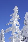 Schneebedeckte spitze des baumes kiefer — Stockfoto