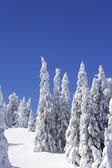 Snow covered pine trees — Stock Photo