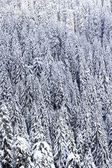 Snow covered pine tree forest — Stock Photo