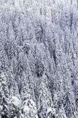 Schnee bedeckte pinienwald — Stockfoto