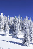 Snow covered pine trees against blue sky — Stock Photo