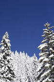 Snow covered pine trees — Stock Photo