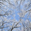 Frosty  trees in forest — Stock Photo