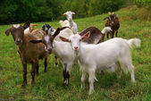 Goats — Stock Photo