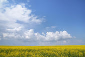 Field of colza — Stock Photo