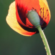 Poppy — Stock Photo #4608508