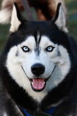 A husky — Stock Photo