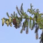 Pelz-Bäume — Stockfoto