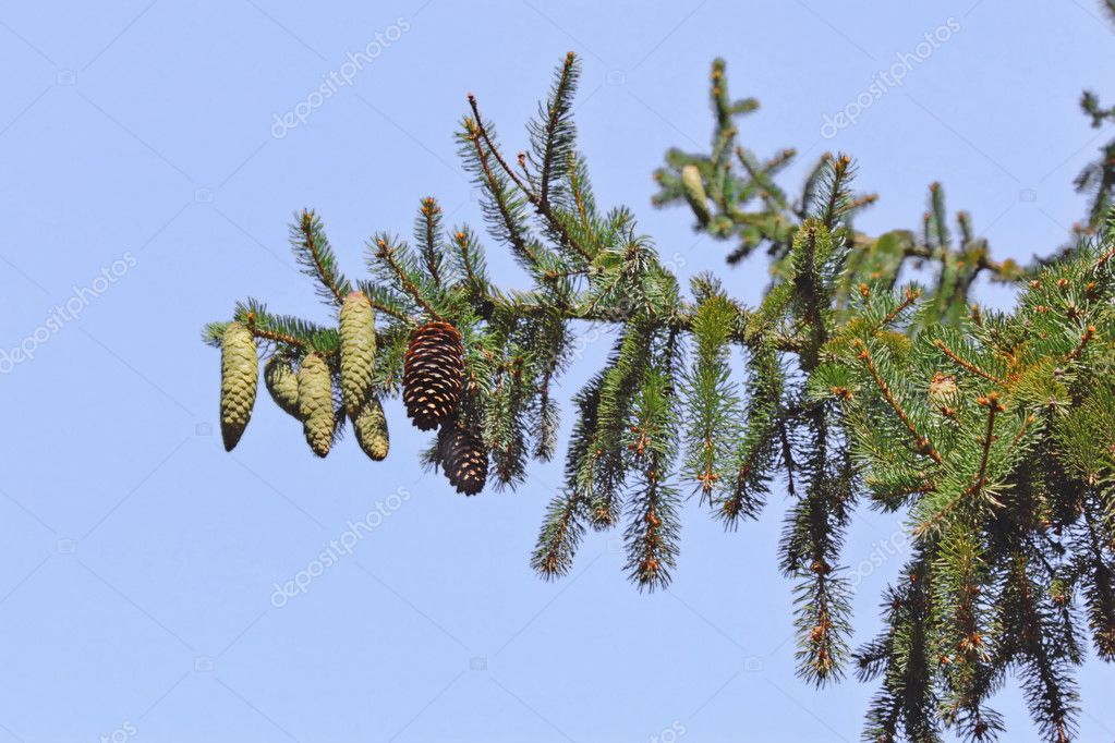 Fur-trees — Stockfoto #4152320