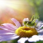 A grasshopper over a daisy — Stock Photo #4121608