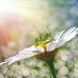 Daisy and grasshopper — Stock Photo #4190578