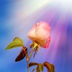 Wild rose under sun rays — Stock Photo #4190609