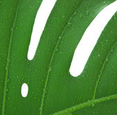 Leaf of a monstera — Stock Photo
