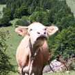 Cow on field somewhere in Transylvanian mountains - Stock Photo