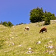 Cows in pasture scene somewhere in Carpathian mountains — Stock fotografie