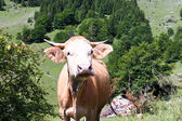 Cow on field somewhere in Transylvanian mountains — Stock Photo