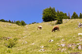 Cows in pasture scene somewhere in Carpathian mountains — Stockfoto