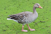Goose on a green grass — Stock Photo