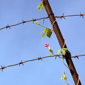 Flower on the barbed wire — Stock Photo